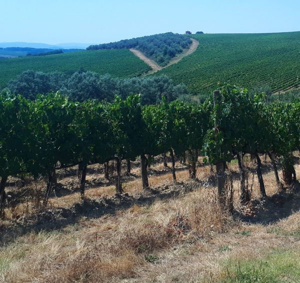 Image for How are drones making a difference in precision viticulture.